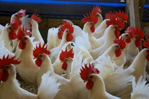 Chicken640